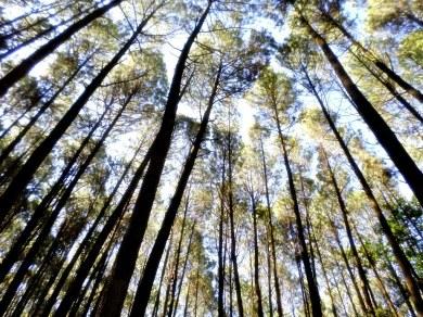 Hutan Pinus Imogiri (6)