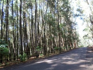 Tepi Jalan Hutan Pinus Imogiri