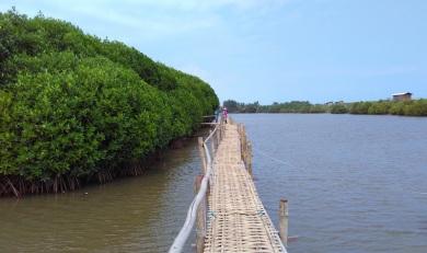 Hutan mangrove pantai congot pasir mendit (7)
