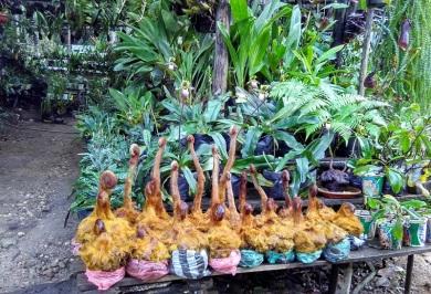 tanaman hias di Harau